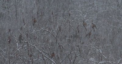 American Robins, Large Group in Spring Snowstorm, Feeding on Staghorn Sumac, ZO to WA