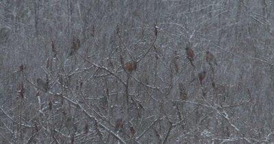 American Robins Feeding on Staghorn Sumac, Spring Blizzard