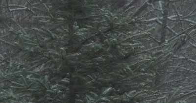 Snow Blowing Past Evergreen Spruce Tree, Winter Blizzard
