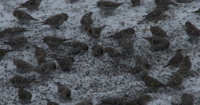Common Redpolls and Pine Siskins, Group of Feeding Birds in Winter