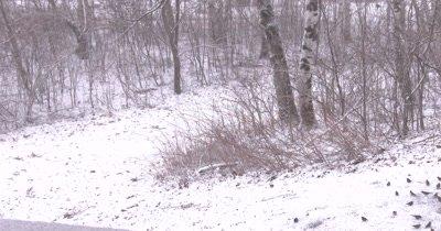 Large Flock of Feeding Birds, Flee into Nearby Birch Tree
