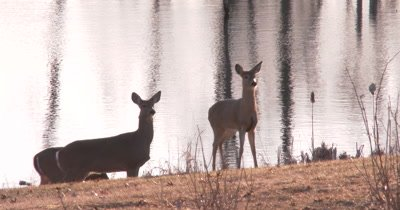 White-tailed Deer by Pond on Alert, Watching, One Feeding, All Suddenly Flee