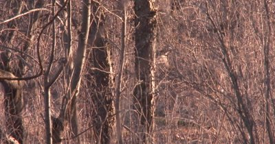 White-tailed Deer Very Camouflaged, Standing in Woods Then Moving Off