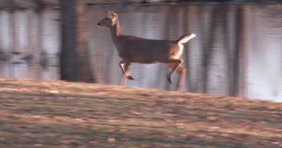 White-tailed Deer, Doe Running, Stops Suddenly, Looks Toward Camera, Looks to L of Frame