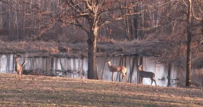 White-tailed Deer Standing Alert, One Trots Toward Camera, Then Another, Last One Watches
