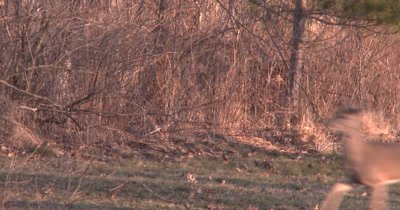 Two White-tailed Deer Run Through Frame, Shadows Coming First