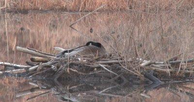 Canada Goose, Hen Sleeping on Nest on Beaver Lodge