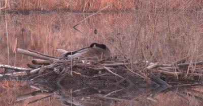 Canada Goose, Hen Sleeping on Nest on Beaver Lodge, ZO to WA Pond View