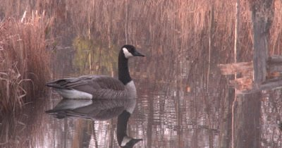 Canada Goose, Gander, Floating in Spring Pond, Reflection, Guarding Hen on Nest Off Frame