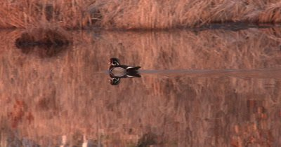 Wood Duck, Drake Swimming Through Pond, Reflection, Exits