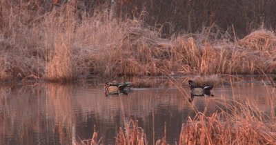 Trio of Wood Ducks Swimming Throught Pond, One Drake Protecting Hen