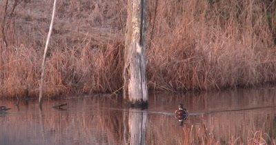 Wood Duck Trio on Pond, Swimming Toward Camera