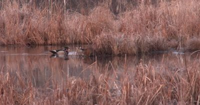 Wood Duck Drakes Swimming Near Feeding Muskrat, Stay Close to Muskrat, Looking