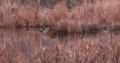 Wood Ducks Hen and Drake, Emerge From Behind Reeds With Muskrat Feeding At One End