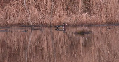 Wood Duck Drake and Hen in Pond, Swimming, Calling