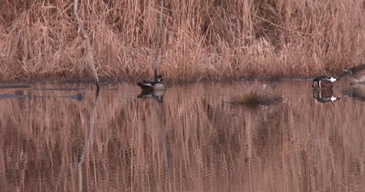 Wood Duck Pair in Pond, Another Enters From Left, All Preen