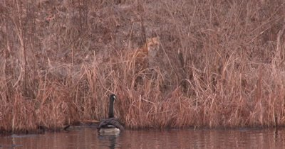 Red Fox Near Edge of Pond, Protective Canada Goose Gander Comes to Warn Fox Off, Fox Acts Disinterested