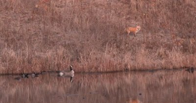 Canada Goose and Wood Ducks Watching Fox on Shore of Pond