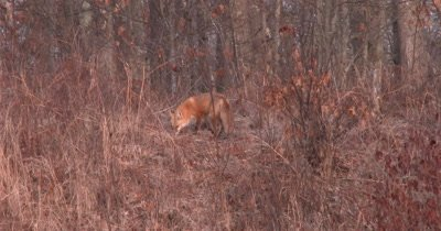 Red Fox Sniffing, Turns, Trots Uphill, Sniffs Again, Exits