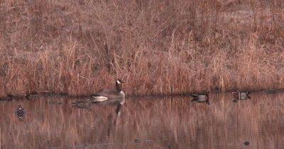 Canada Goose in Pond, Wood Ducks Surrounding