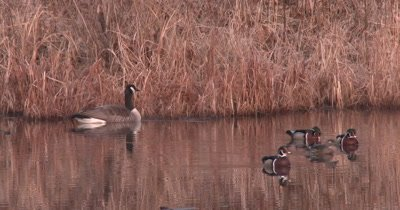 Canada Goose and Wood Ducks n Pond, Three Drakes Surrounding Hen, Ducks Exit
