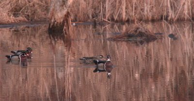 Pair of Wood Ducks in Pond Followed By Two Other Interested Drakes