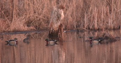 Wood Ducks In Pond, Interacting, Trying To Gain Hens Approval