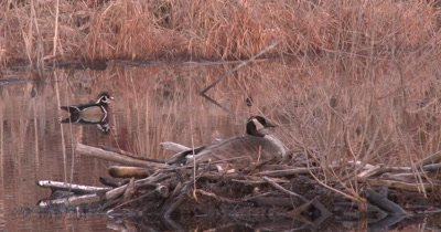 Canada Goose Hen on Nest, Wood Ducks Parade Past in BG
