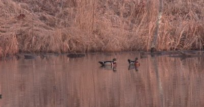 Two Male Wood Ducks in Pond, Floating