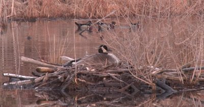 Canada Goose Hen on Nest, Three Wood Duck Drakes in BG, Interacting