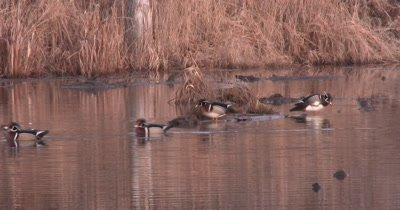Wood Ducks in Pond, Three Leave, Two Remain Behind, Preen