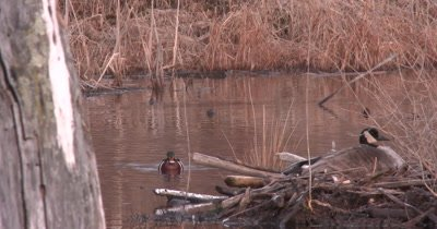 Male Wood Ducks Near Nesting Goose, One Displays