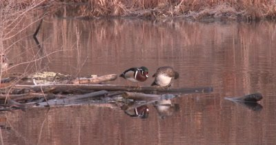 Wood Duck Pair on Log, Drake Moves Off, Displaying, Hen Preens