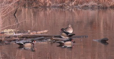 Wood Duck Hen on Log, Preening, Males, Drakes Enter All Vying For Attention