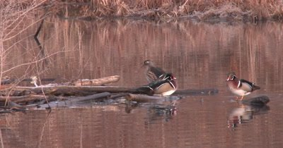 Wood Duck Pair on Log, Another Drake Enters, Stands on Log