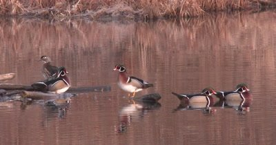 Five Wood Ducks In Pond, Preening, Swimming About