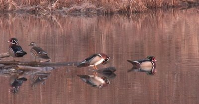 Four Wood Ducks in Pond, Preening, One Stretches Wing