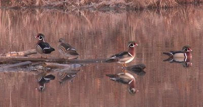 Wood Ducks in Pond, One Jumps Into Water, Exits, Swimming