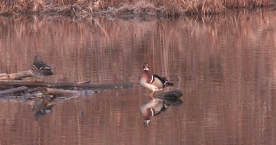 Wood Duck Pair in Pond, Preening, Male Fluffs Feathers, Turns