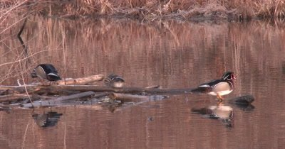 Wood Duck Hen Moves Off Log, Two Drakes Follow