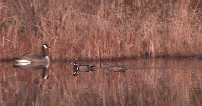 Wood Duck Pair in Pond, Swim Past Goose, Exit