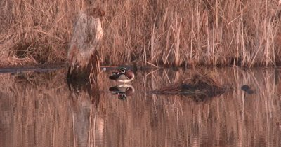 Wood Duck Drake, Preening in Pond