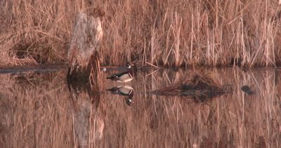 Wood Duck Drake Preening in Pond, Fluffs Feathers, Exits, Flies Off