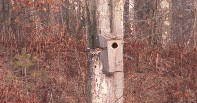 Wood Duck Hen on Tree Snag, Preening, Preparing To Enter Nest Box in Background