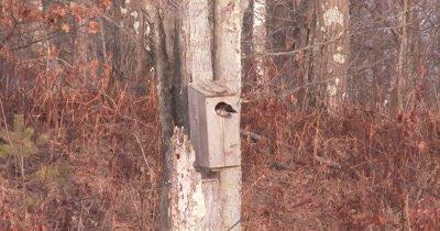 Wood Duck Hen Peering Inside Next Box on Tree