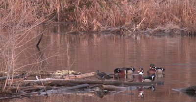 Male Wood Ducks With One Hen, All Trying To Get Attention in Spring Mating Season