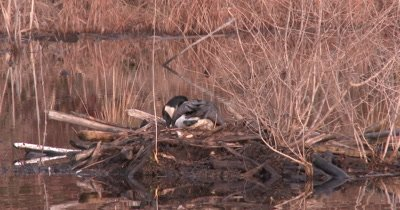 Canada Goos Hen on Nest, Settles Down, Then Tucks Nesting Material Around Body