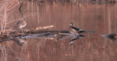 Wood Ducks Preening, Male Climbs Out On Log