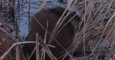 Muskrat Sitting in Pond, Looking