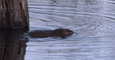 Muskrat Swims Around Tree